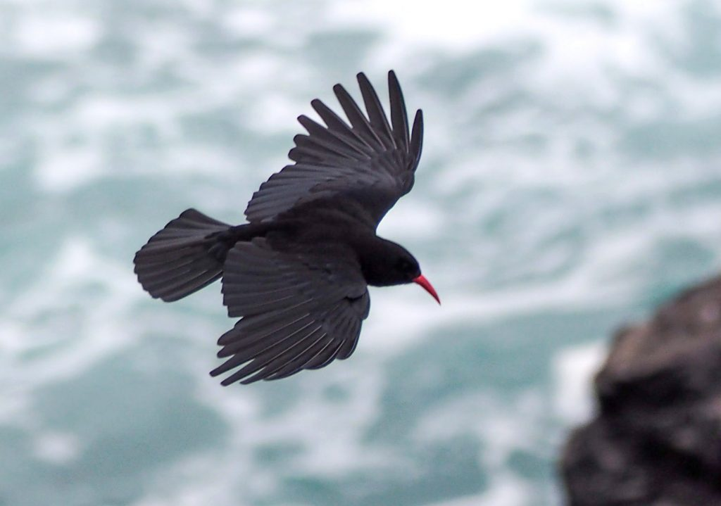 """Cornish"" Chough"