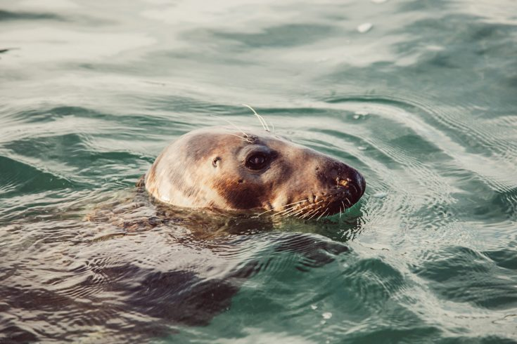 Atlantic Grey Seal As 2029