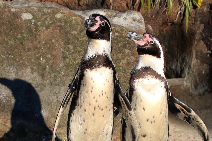 Penguins At Paradise Park Cornwall