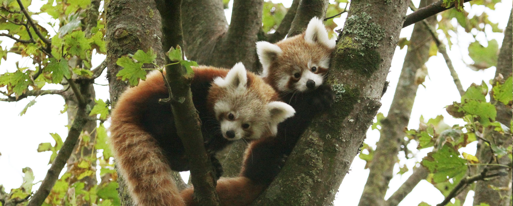 Red Pandas Paradise Park Cornwall