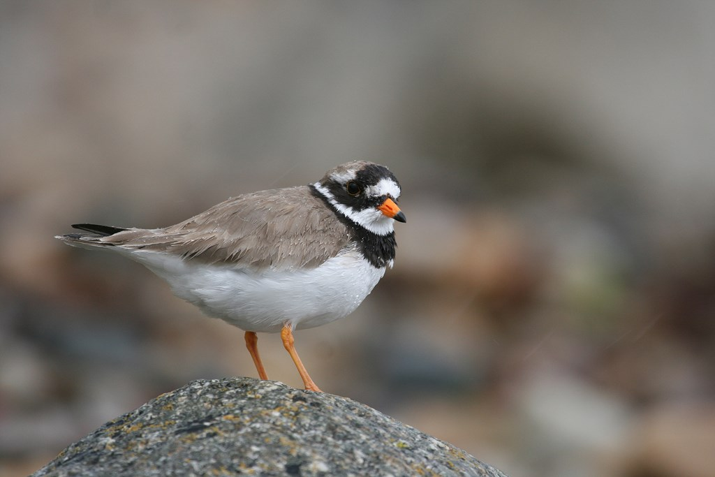 Ringed Plover Tom Marshall Birdwatching For Beginners
