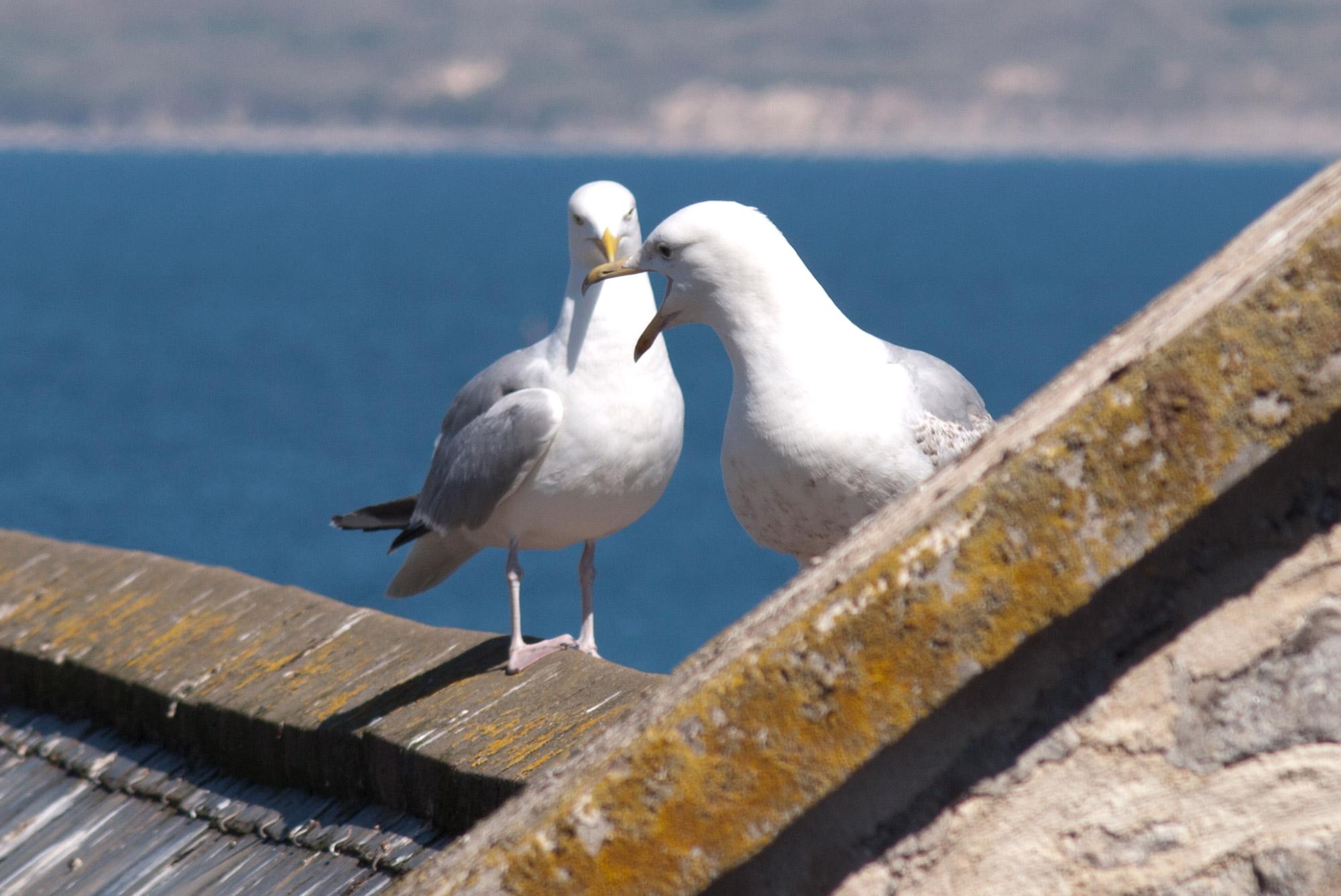 Gulls Stivesbid Campaign